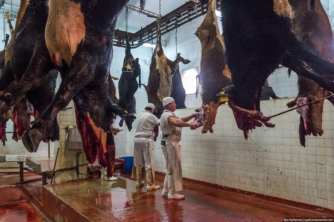 Забой и разделка крс (корова, бык, теленок) в домашних условиях