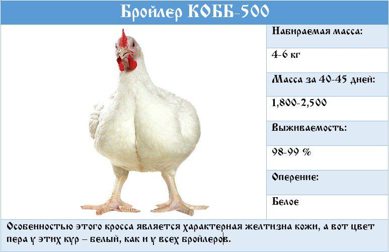Бройлеры росс 308 - описание породы с фото, содержание, отзывы
