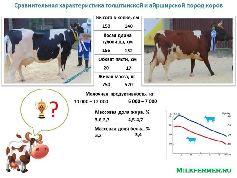 Айрширская порода коров: характеристика и описание
