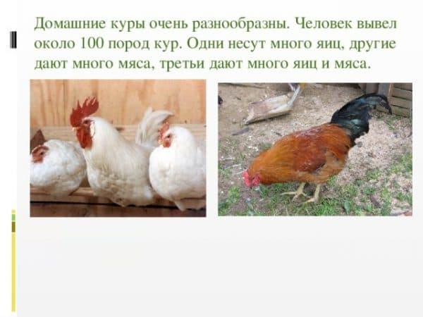 Энциклопедия птицевода: обсуждаем самые интересные факты о курицах