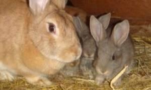 Можно ли давать кроликам пижму?