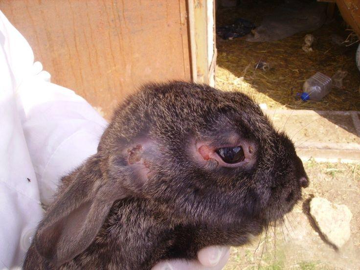 Болезни ушей у кроликов диагностика и лечение