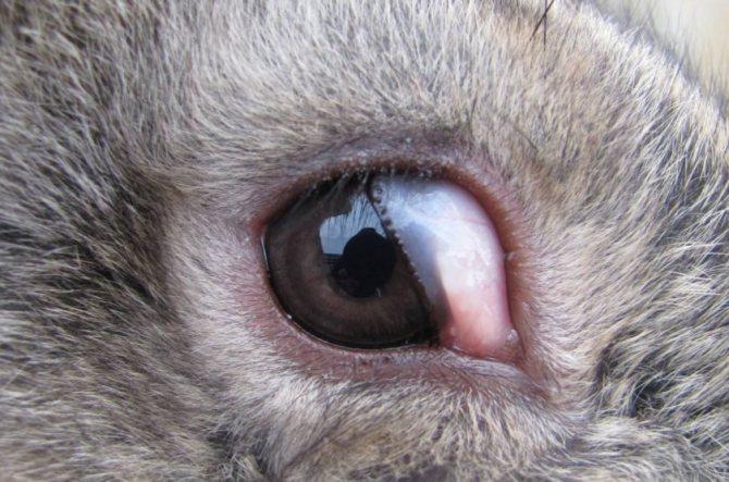 У кролика закисают и гноятся глаза: что делать?
