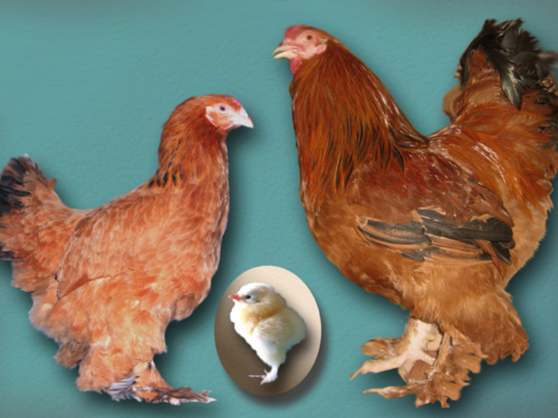 О породе кур супер ник: описание и характеристика, как отличить пол цыпленка