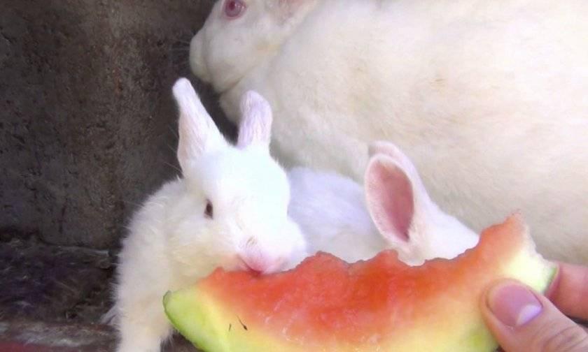 Можно ли кормить кроликов арбузами