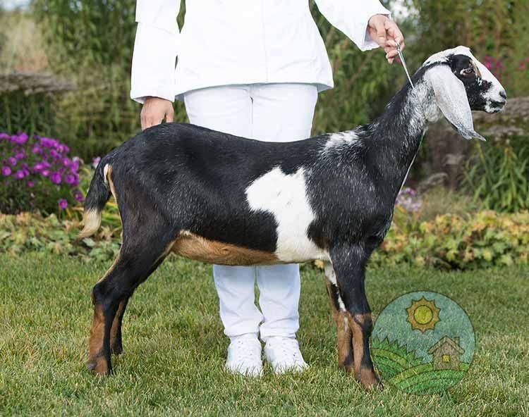Нубийские козы: описание содержания, ухода и выращивания (90 фото)