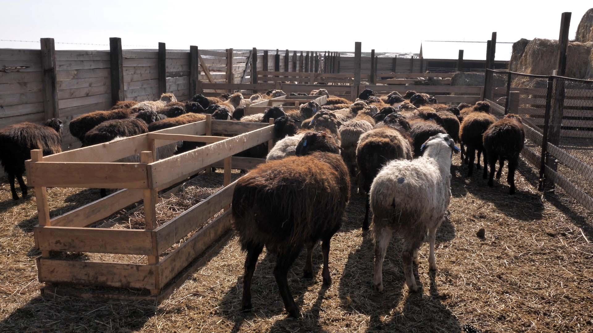Разведение и содержание овец в домашних условиях: нюансы и рекомендации по выбору породы для начинающих