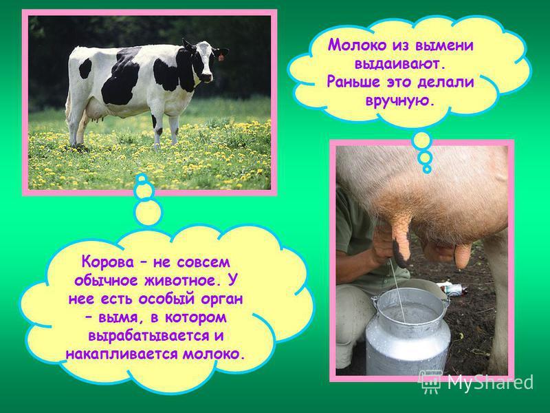 Почему у коровы молоко соленое: причины, что делать