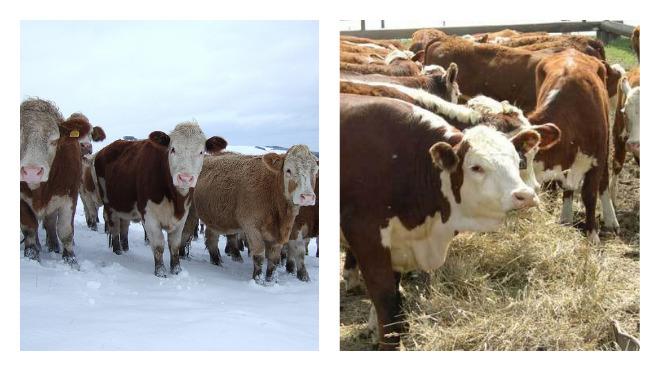 Сколько сена нужно корове на зиму и как рассчитать?