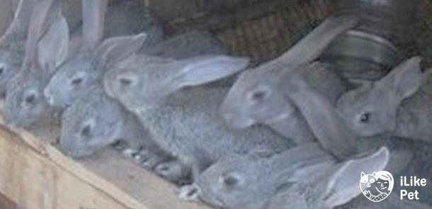 Секреты успешного разведения кроликов советская шиншилла