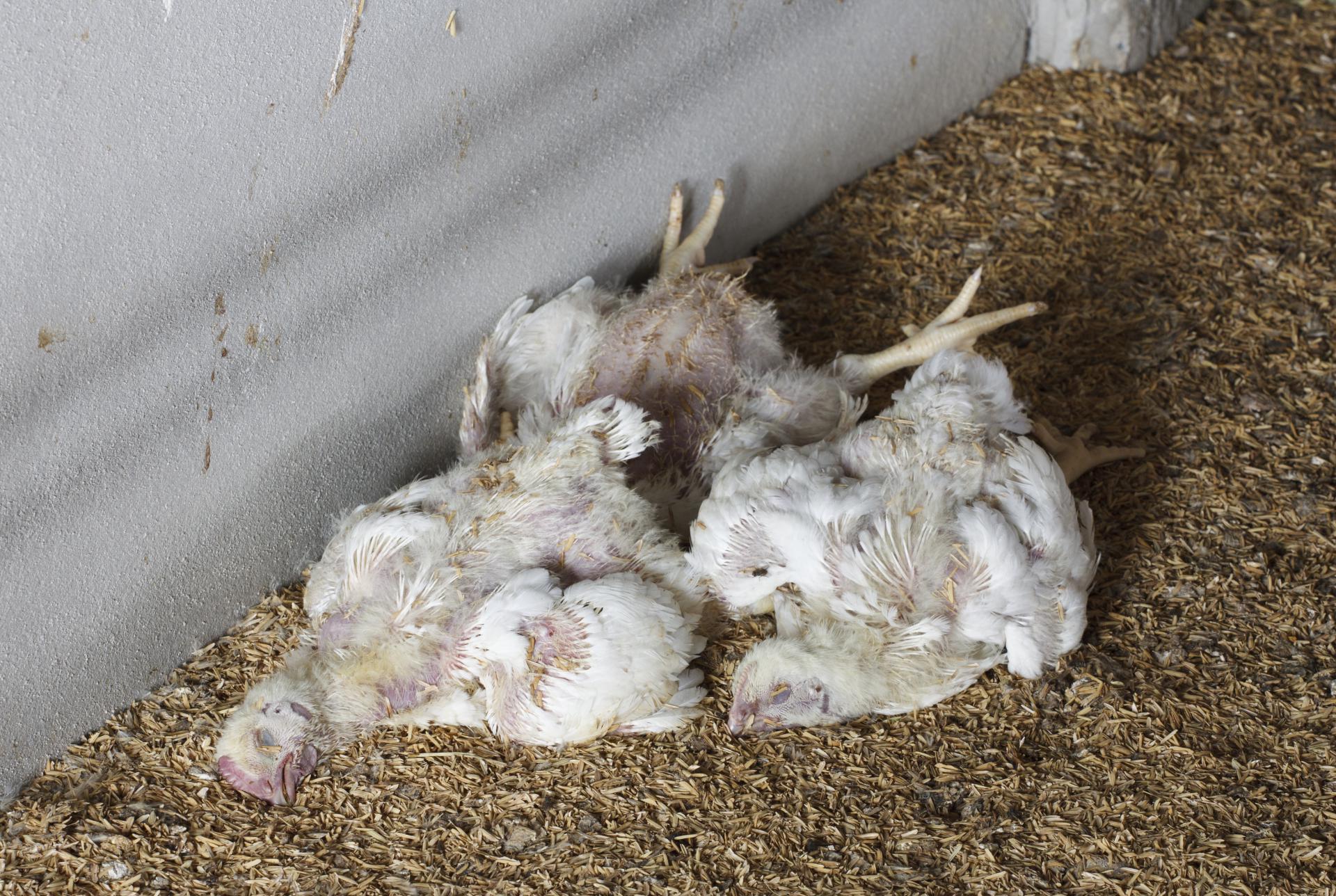 Схема пропаивания цыплят-бройлеров антибиотиками и витаминами