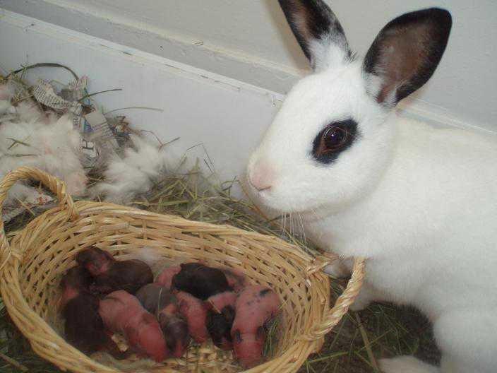 Почему крольчиха приносит мало крольчат