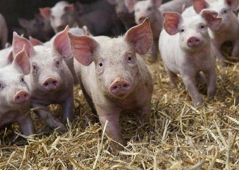 Порода свиней ландрас: характеристика, кормление и уход