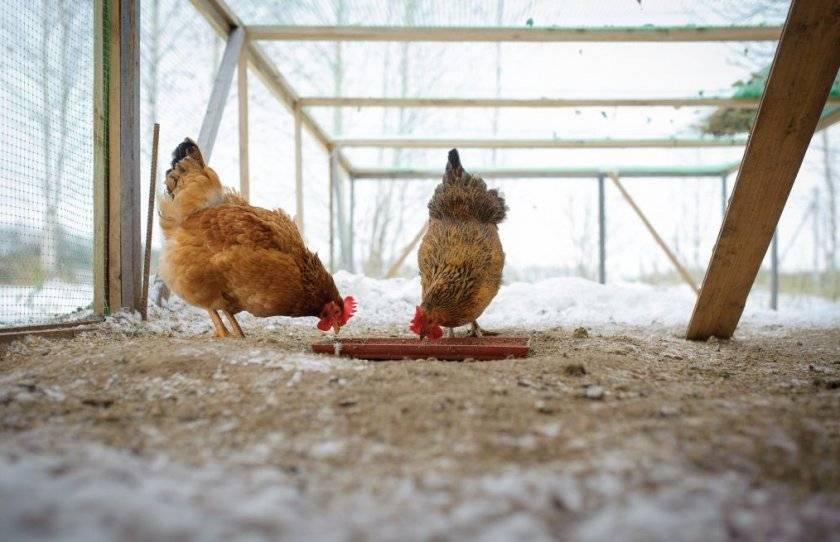 Каким зерном кормить кур несушек, чтобы хорошо неслись