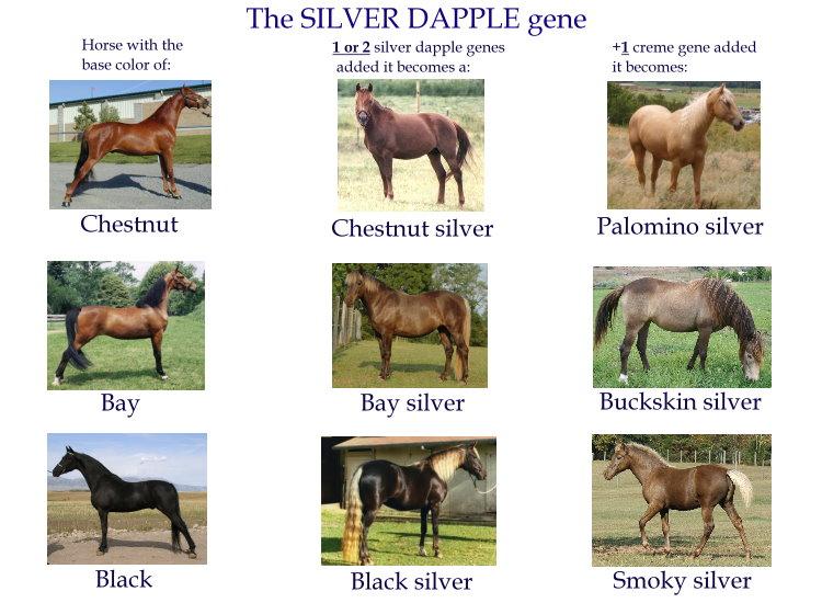 Гнедая лошадь: особенности породы, основные цвета и характеристики масти вороного коня