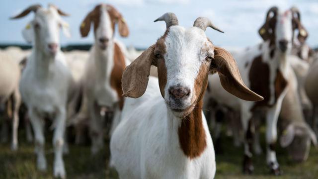 Отравление коз. нарушение обмена веществ, лечение. болезни коз и их лечение.