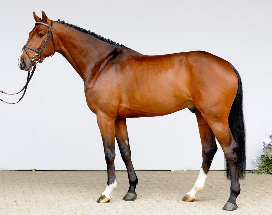 Ганноверская порода лошадей: история, характеристика, использование