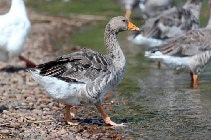 Уральские гуси: описание породы, характеристика, содержание и уход