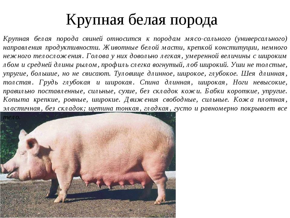 Черная свинья - характеристика породы, особенности содержания