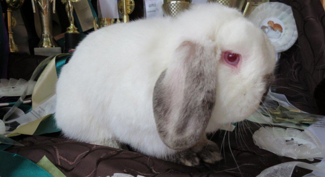 Вислоухий карликовый кролик — уход и содержание вида
