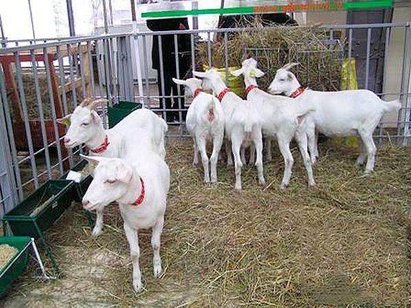 Порода альпийские козы: фото, описание и характеристика -сколько дает молока и какой окрас
