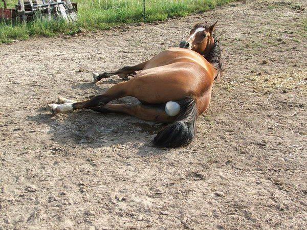 Сколько ходит беременная лошадь: период вынашивания и как проходят роды