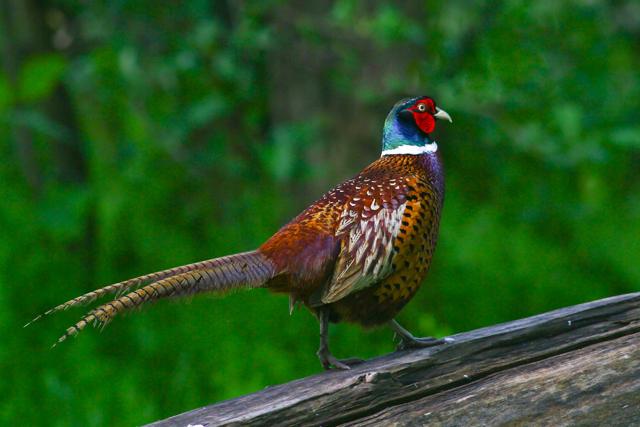 Королевский фазан: как выглядит, где обитает, чем питается