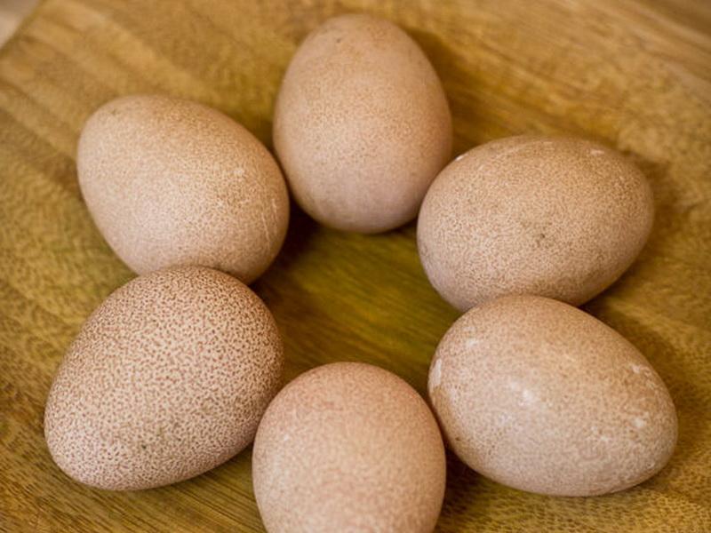 Яйценоскость цесарок: когда начинают нести яйца, сколько несутся по времени