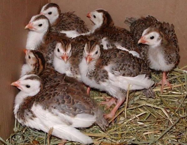 Сколько сидят цесарки на яйцах, когда начинают нестись