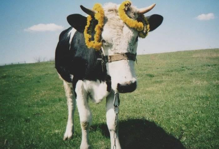 Бесплодие коровы: причины и лечение