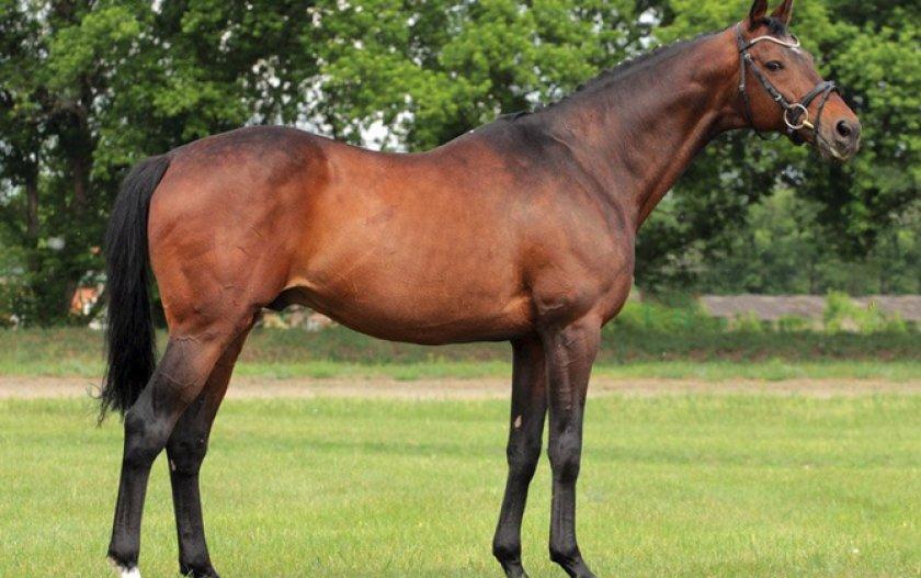 Английская чистокровная лошадь: особенности породы, уход и разведение