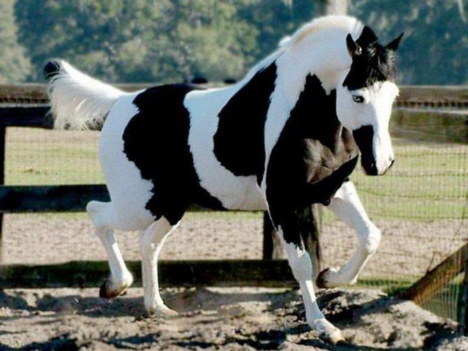 Разнообразие пегих лошадей