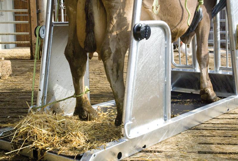 Почему корова задерживает молоко?
