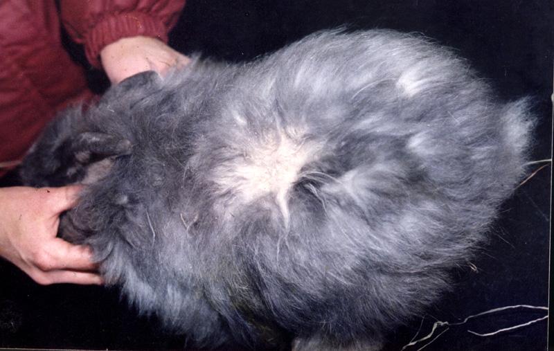 Кожные недуги у кроликов: как спасать ценную шубку?