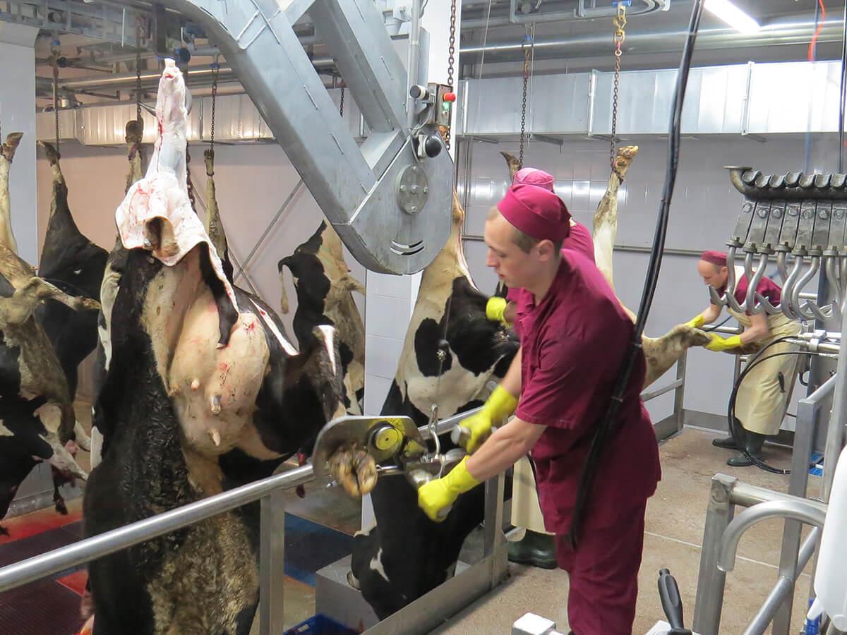 Фермеру на заметку как резать быка