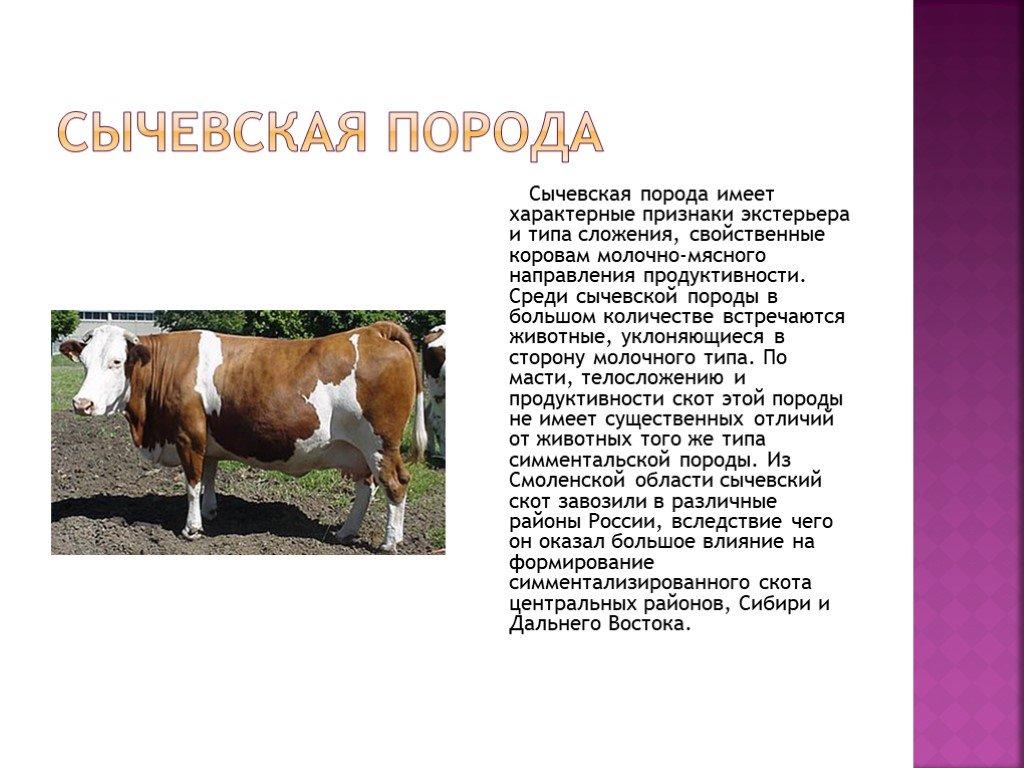 Симментальская породы коров: плюсы и минусы