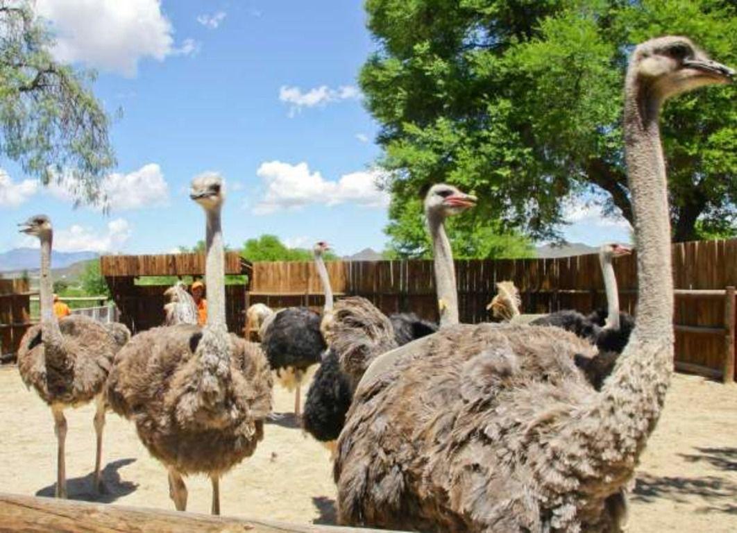 Кормление страусов в домашних условиях: нормы и рацион питания