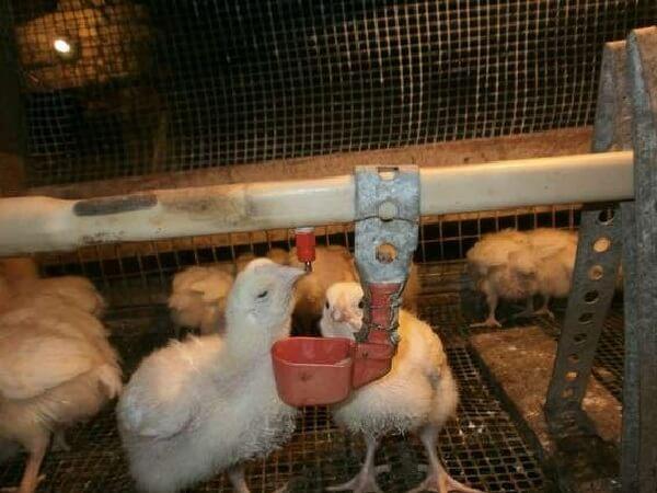 Как разводить фуразолидон для цыплят: чем полезен, что делать при передозировке, а также как смешивать с кормом и водой?