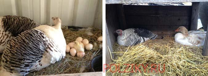 Сколько дней высиживает яйца индюшка в домашних условиях