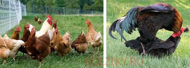 Как курица несет яйца без петуха: оплодотворение яиц у кур