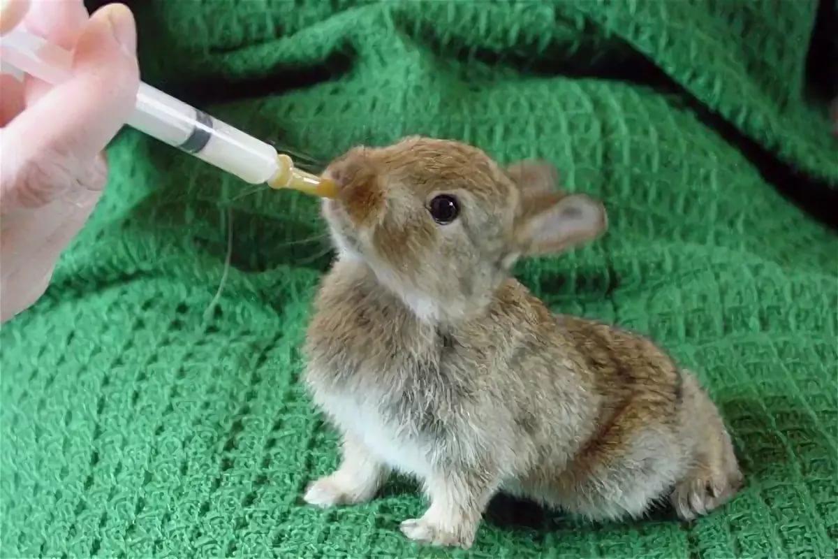 Как выкормить трёхдневных крольчат козьим молоком. | кролики. разведение и содержание в домашних условиях