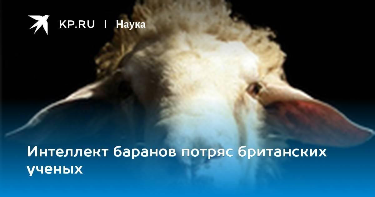 Что едят овцы? чем кормить баранов в домашних условиях? кормление зимой. корма и витамины для откорма на мясо. сколько овцам нужно сена и можно ли давать пшеницу?