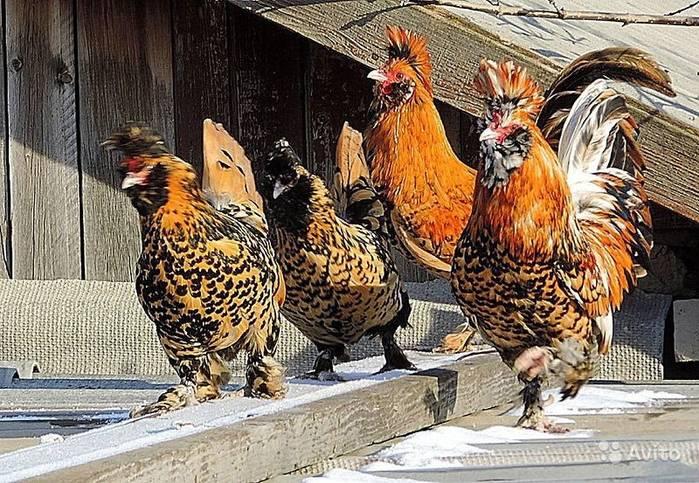 Куры араукана (28 фото): описание породы. как разводить цыплят? как их выращивать? отзывы владельцев