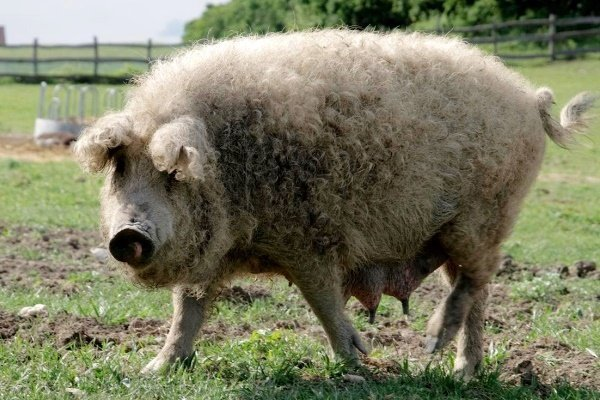 ✅ все о волосатых свиньях венгерской породы: описание, особенности, характеристика - tehnomir32.ru