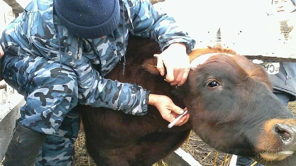 Корова носитель вируса лейкоза можно ли пить молоко