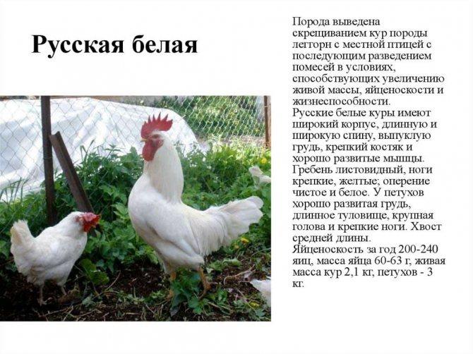 Породы кур несушек яичного направления: фото и видео с описанием