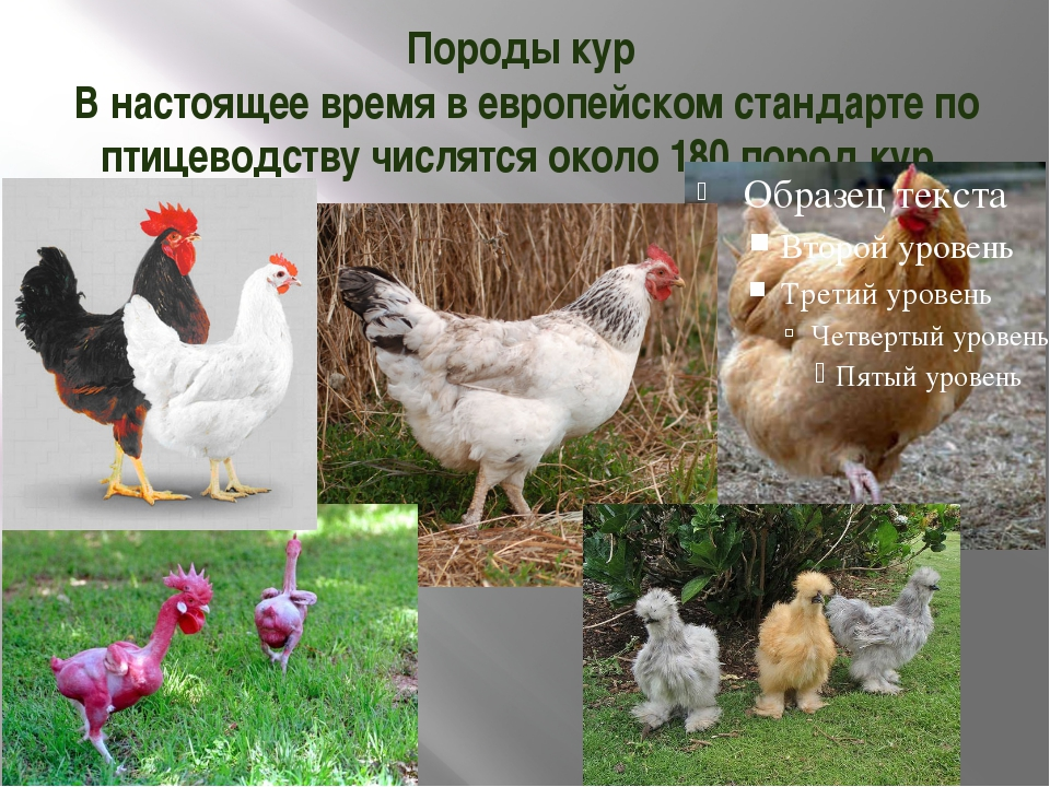 Карликовые породы кур (40 фото): описание мини-мясных цыплят. как называются маленькие породы несушек?