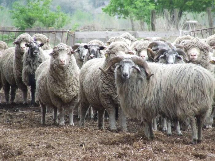 Породы овец и баранов: виды и их особенности