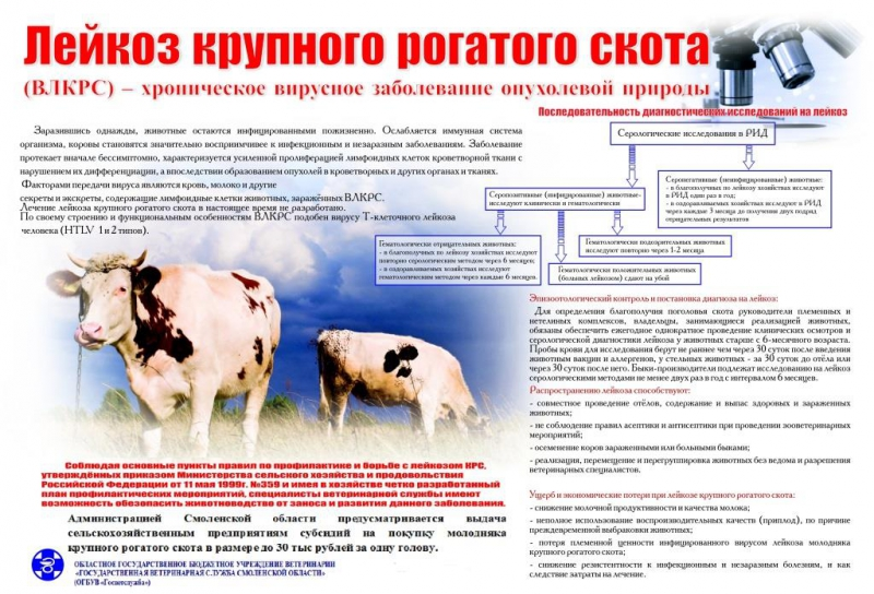 Нодулярный дерматит коров (крс): чем лечить