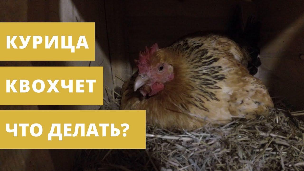 Почему у кур просыпается инстинкт насиживания и что делать, если в планы птицевода не входит получение куриного потомства и нужно отучить птицу от насиживания?